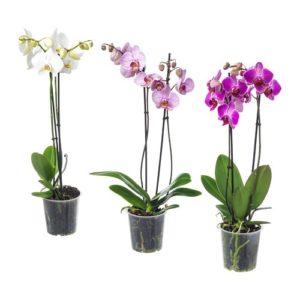 8d414e986b4 Kuuking – Phalaenopsis